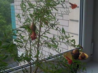 2048 X 1536 706.1 Kb Плодовые комнатные растения
