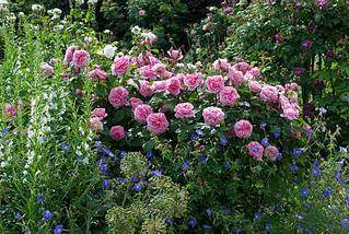 960 X 643 159.0 Kb Саженцы английских роз (ЗКС), флоксов, дельфиниумов, стол.винограда и др.
