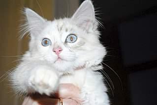 1280 X 859 140.2 Kb 1280 X 859 219.4 Kb 1280 X 859 243.6 Kb Мишель, моя кошка. Кошка-Симошка.