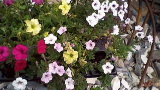 1872 X 1056 381.6 Kb Цветы для вашего сада, кафе, придомовой территории. КУПИМ многолетники