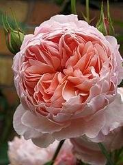 480 X 640  51.2 Kb Саженцы английских роз (ЗКС), флоксов, дельфиниумов, стол.винограда и др.