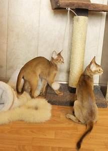1238 X 1721 324.2 Kb Веточка для Коржиков и абиссинских кошек