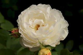 1920 X 1278 116.5 Kb Саженцы английских роз (ЗКС), флоксов, дельфиниумов, стол.винограда и др.