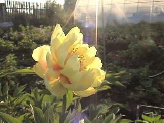 1152 X 864 493.6 Kb 1152 X 864 461.6 Kb Продажа редких растений из питомника 'Мой сад'