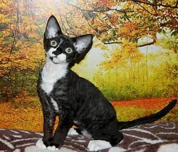 1920 X 1645 351.0 Kb Девон рекс - эльфы в мире кошек - у нас есть котята