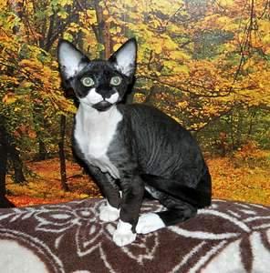1920 X 1944 458.1 Kb Девон рекс - эльфы в мире кошек - у нас есть котята
