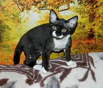 1920 X 1644 343.1 Kb 1920 X 1944 458.1 Kb Девон рекс - эльфы в мире кошек - у нас есть котята