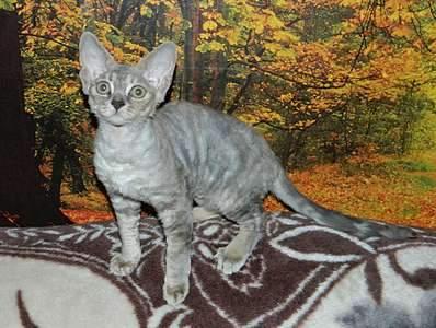 1920 X 1447 326.9 Kb Девон рекс - эльфы в мире кошек - у нас есть котята
