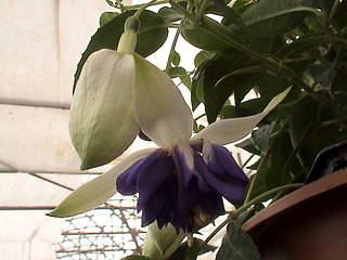 1152 X 864 449.5 Kb Продажа редких растений из питомника 'Мой сад'