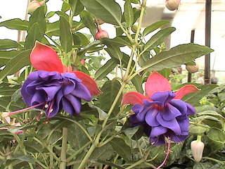1152 X 864 439.5 Kb 1152 X 864 497.0 Kb Продажа редких растений из питомника 'Мой сад'