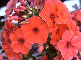 1152 X 864 378.8 Kb Продажа редких растений из питомника 'Мой сад'