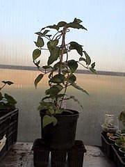 864 X 1152 482.0 Kb 1152 X 864 481.0 Kb Продажа редких растений з питомника 'Мой сад'