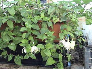 1152 X 864 475.9 Kb 864 X 1152 482.0 Kb 1152 X 864 481.0 Kb Продажа редких растений из питомника 'Мой сад'