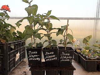 1152 X 864 386.9 Kb Продажа редких растений из питомника 'Мой сад'