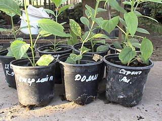 1152 X 864 483.1 Kb 1152 X 864 481.0 Kb 1152 X 864 413.2 Kb Продажа редких растений из питомника 'Мой сад'