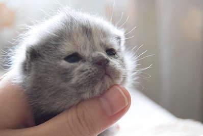 1920 X 1281 162.5 Kb Питомник британских кошек Cherry Berry's. У нас родились котята!