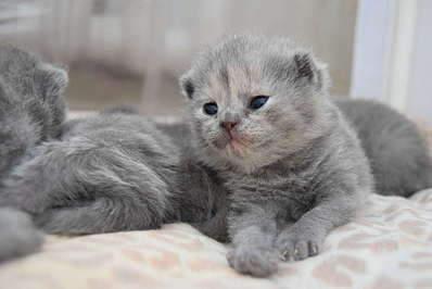 1920 X 1281 194.5 Kb 1920 X 1281 155.8 Kb 1920 X 1281 162.5 Kb Питомник британских кошек Cherry Berry's. У нас родились котята!