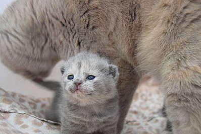 1920 X 1281 194.5 Kb 1920 X 1281 194.5 Kb 1920 X 1281 155.8 Kb 1920 X 1281 162.5 Kb Питомник британских кошек Cherry Berry's. У нас родились котята!
