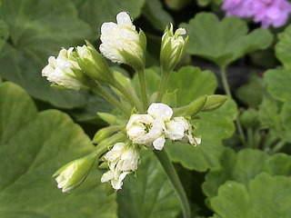 1152 X 864 503.4 Kb Продажа редких растений из питомника 'Мой сад'