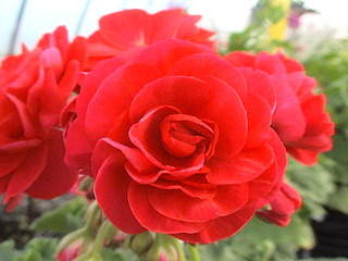 1152 X 864 468.6 Kb Продажа редких растений из питомника 'Мой сад'