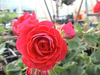 1152 X 864 480.3 Kb 1152 X 864 468.6 Kb Продажа редких растений из питомника 'Мой сад'