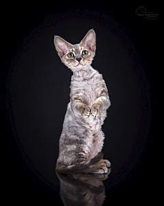 1024 X 1280 652.4 Kb Девон рекс - эльфы в мире кошек - у нас есть котята