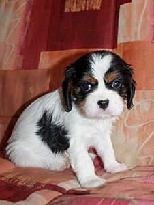 1920 X 2545 273.7 Kb Кавалер-кинг-чарльз-спаниель. Собака, создающая комфорт. Питомник Auroconcurr.