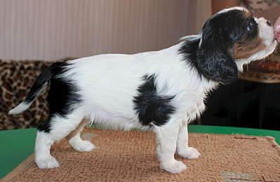1920 X 1251 174.4 Kb 1920 X 2545 273.7 Kb Кавалер-кинг-чарльз-спаниель. Собака, создающая комфорт. Питомник Auroconcurr.