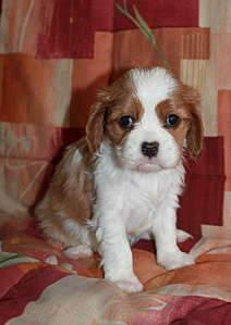 1920 X 2707 264.0 Kb Кавалер-кинг-чарльз-спаниель. Собака, создающая комфорт. Питомник Auroconcurr.