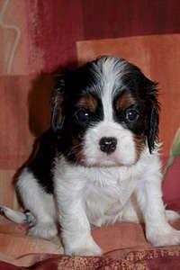 1920 X 2880 253.1 Kb Кавалер-кинг-чарльз-спаниель. Собака, создающая комфорт. Питомник Auroconcurr.