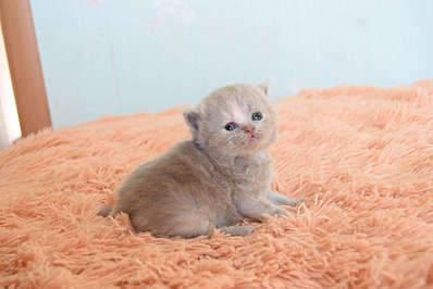 1920 X 1281 193.5 Kb Питомник британских кошек Cherry Berry's. У нас родились котята!