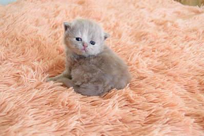 1920 X 1281 265.0 Kb 1920 X 1281 193.5 Kb Питомник британских кошек Cherry Berry's. У нас родились котята!