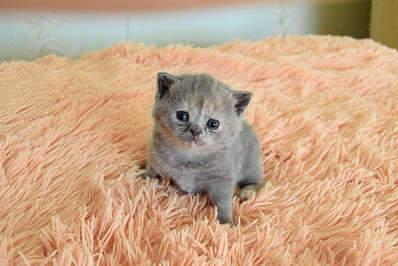 1920 X 1281 270.8 Kb Питомник британских кошек Cherry Berry's. У нас родились котята!