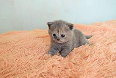1920 X 1281 222.9 Kb 1920 X 1281 270.8 Kb Питомник британских кошек Cherry Berry's. У нас родились котята!