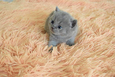 1920 X 1281 259.2 Kb Питомник британских кошек Cherry Berry's. У нас родились котята!