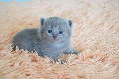 1920 X 1281 274.6 Kb Питомник британских кошек Cherry Berry's. У нас родились котята!