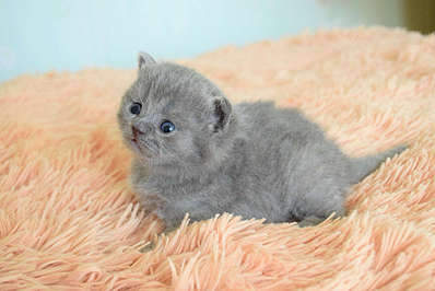 1920 X 1281 221.4 Kb 1920 X 1281 274.6 Kb Питомник британских кошек Cherry Berry's. У нас родились котята!