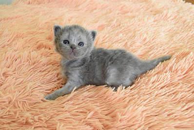 1920 X 1281 304.7 Kb Питомник британских кошек Cherry Berry's. У нас родились котята!