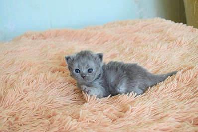 1920 X 1281 257.5 Kb 1920 X 1281 304.7 Kb Питомник британских кошек Cherry Berry's. У нас родились котята!