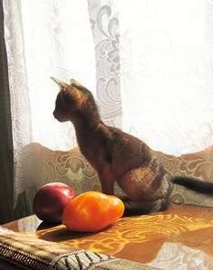 1711 X 2169 862.7 Kb Веточка для Коржиков и абиссинских кошек