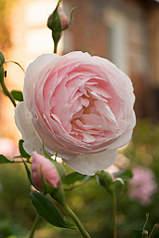 682 X 1024 253.0 Kb Саженцы английских роз (ЗКС), флоксов, дельфиниумов, стол.винограда и др.
