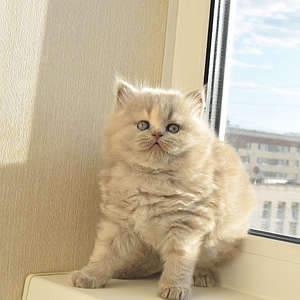 1920 X 1920 482.2 Kb 1920 X 1920 297.6 Kb Питомник британских кошек Cherry Berry's. У нас родились котята!