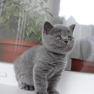 1920 X 1920 346.4 Kb 1920 X 1920 285.6 Kb Питомник британских кошек Cherry Berry's. У нас родились котята!