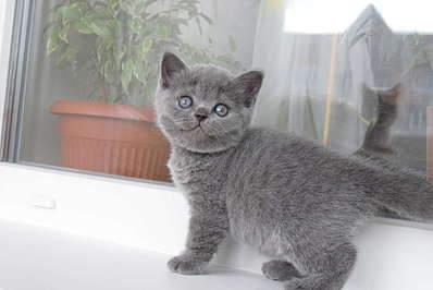 1920 X 1281 211.4 Kb Питомник британских кошек Cherry Berry's. У нас родились котята!