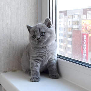 1920 X 1920 433.2 Kb Питомник британских кошек Cherry Berry's. У нас родились котята!