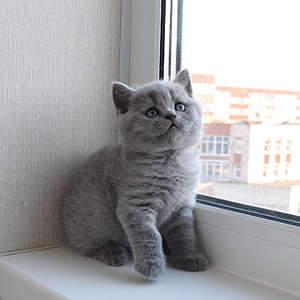 1920 X 1920 393.5 Kb 1920 X 1920 433.2 Kb Питомник британских кошек Cherry Berry's. У нас родились котята!