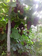1920 X 2560 401.5 Kb 1958 X 2611 1007.4 Kb Саженцы винограда, туи западной