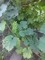 1920 X 2560 360.1 Kb 1920 X 2560 401.5 Kb 1958 X 2611 1007.4 Kb Саженцы винограда, туи западной