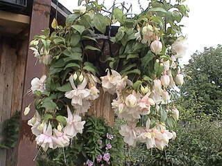 1152 X 864 486.6 Kb 1152 X 864 375.5 Kb 1152 X 864 428.9 Kb Продажа редких растений из питомника 'Мой сад'