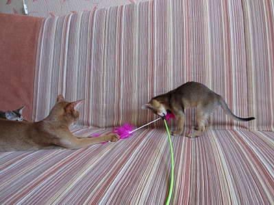 1920 X 1440 367.5 Kb 1920 X 1440 346.3 Kb Веточка для Коржиков и абиссинских кошек